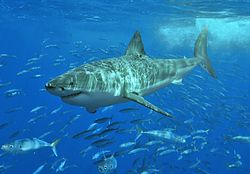 Shark nursery grounds from the gulf and also the new england waters from the u . s . states Delineation of the