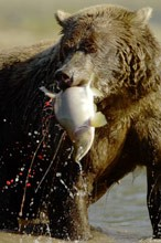 Grizzly bear with salmon. Photo copyright Chris Weston
